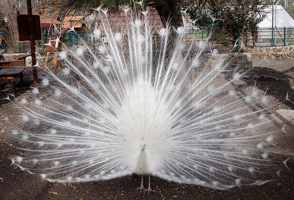 Peacock - White with tail open - 3