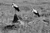 Birds in the Golan - B & W