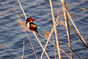 White-throated Kingfisher - Hula valley - Galil - 2