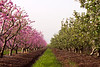 Pink and Green almond tree rows with grass center - leading lines - Galil
