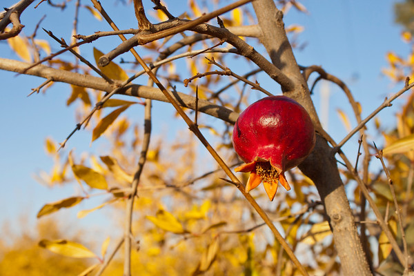 Pomegranate on a tree