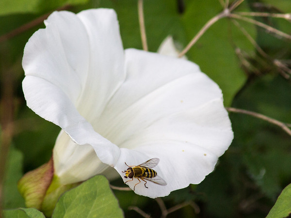 Bee on a flower in Ireland