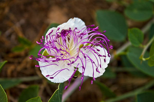 Caper Flowers from a Mediterranean Bush, Capparis Spinosa - 2