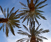 3 Palm trees from below
