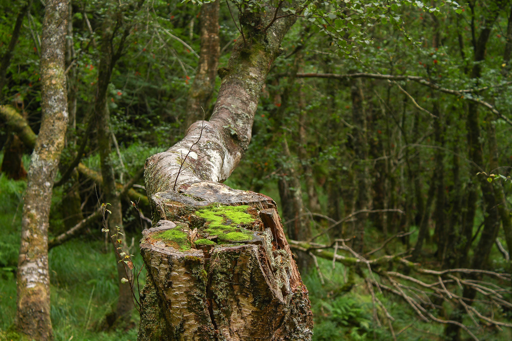 Tree trunk with moss in the Glendalough Forest - Landscape