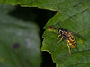 Bee on a leaf in Ireland - 2