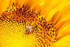 Bee in Sunflower  - 5 - Macro
