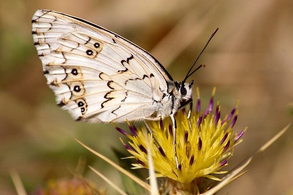 White and black Butterfly on yellow flowered thistle