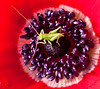 Grasshopper nymph on the inside of a flower
