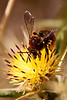 Macro- Bee on yellow flowered thistle - 3
