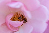 Bee in a rose 2