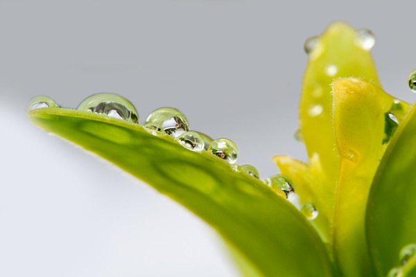 Macro- droplets on a leaf - face and gray - white background