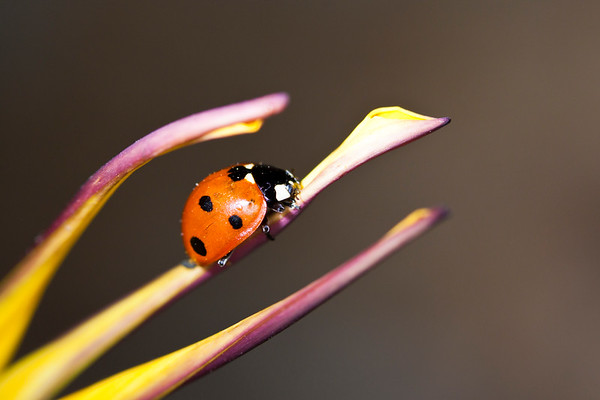 Ladybug on 1 purple petal