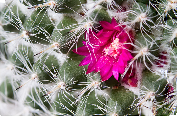 Cactus flower - macro - stacked
