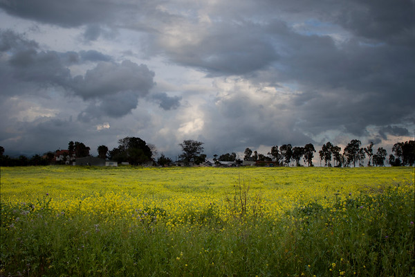 Field of flowers under a stormy sky - Galil