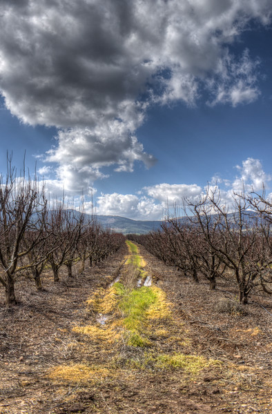 Orchard in the Galil - Portrait