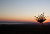 Sun setting behind dried flower over the Kinneret