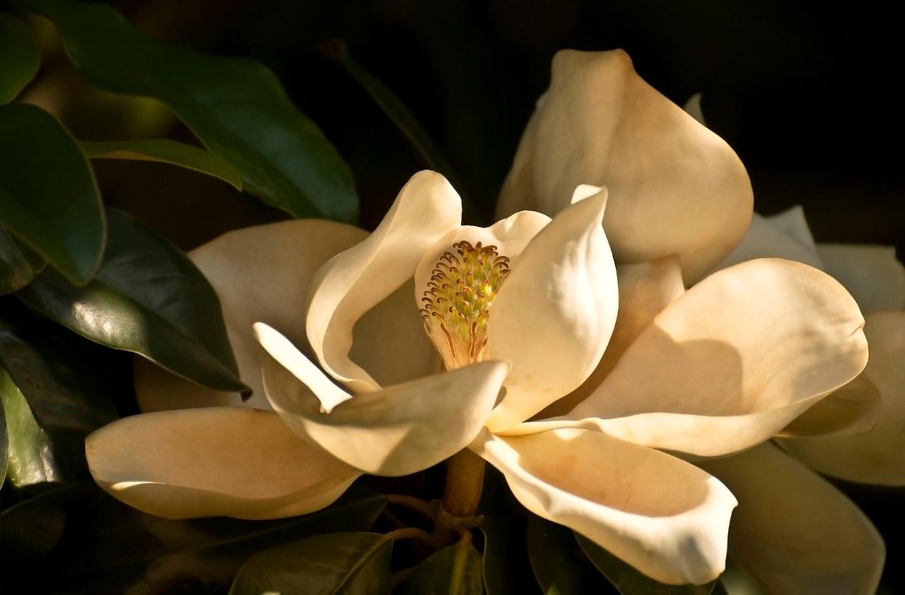 magnolia_7820-22