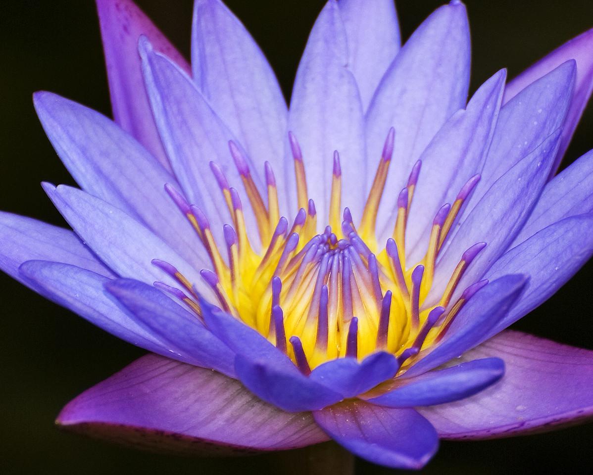 FL-030-Purple Beauty