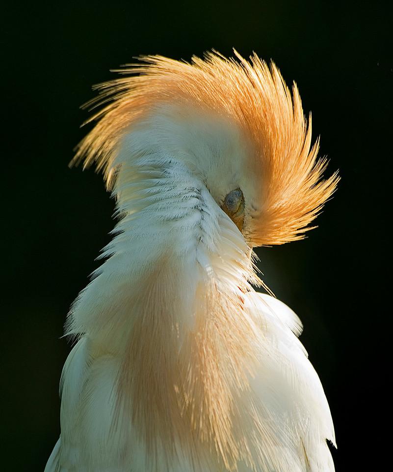 Sweet Dreams - Sleeping Cattle Egret