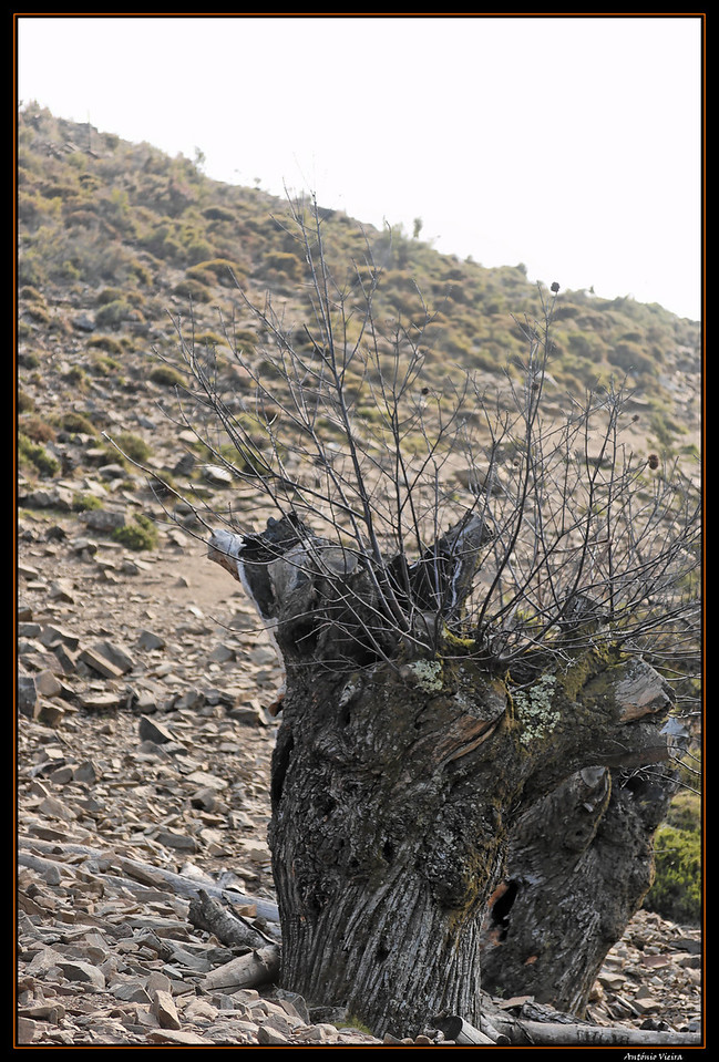 Castanheiros vetuscos de troncos ocos como marca da sua longevidade