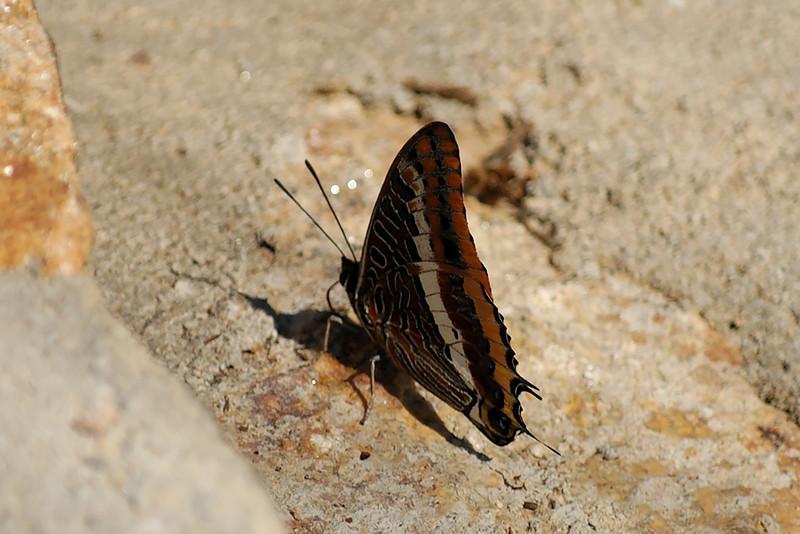 Nome cientifico : Charaxes jasius (Linnaeus, 1767)<br /> Nome comum : Borboleta do medronho<br /> Família : NYMPHALIDAE<br /> Comentário : Maior borboleta diúrna da Europa.