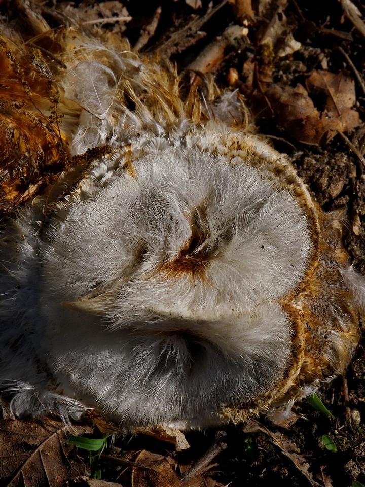 coruja morta<br /> PR5 - Caminho de S. Miguel do Mato<br /> Vouzela