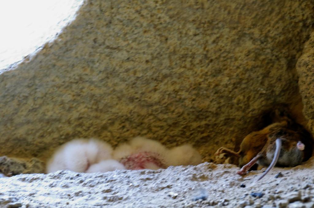ninho de corujas e respectivo alimento para os filhotes ...<br /> PR5 - Caminho de S. Miguel do Mato<br /> Vouzela