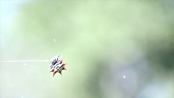 Spiny orb-weaver making a web