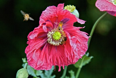 Bees Hovering Over a Poppy
