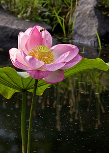 A Bee Pollinates a Pink Water Lily
