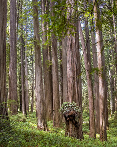 Redwood Trees in Jedediah Smith State Redwoods Park, California