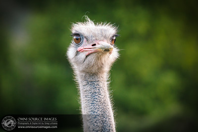 Bollinger Canyon Ostrich