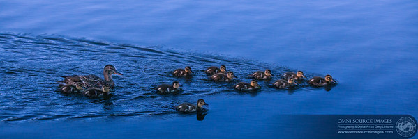 12 Little Ducklings - Lake Alpine, CA