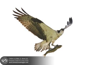 Raptors_of_Lafayette_Reservoir-002