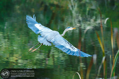 Blue Heron landing over water. Lake Lagunitas, CA.
