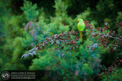 Green Parrot in Mill Valley Park