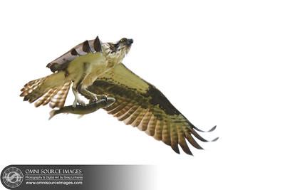 Raptors_of_Lafayette_Reservoir-001