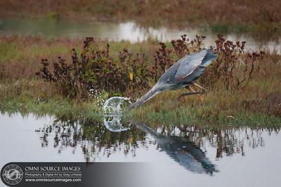 Hunting Blue Heron near Drake's Estero - Point Reyes National Seashore.