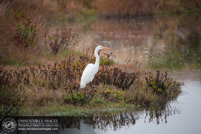 Great White Egret near Drakes Estero - Point Reyes National Seashore.