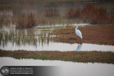 120923_1496_Great_White_Egret