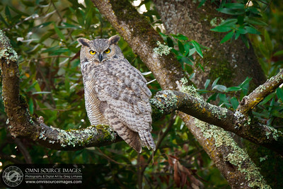 Great Horned Owl fledgling awaits sunset near the King Canyon Loop Trail.