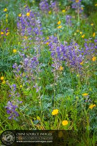Wildflowers on Ocean View Trail Mt Tamalpias