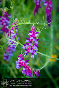 Vicia Vetches Sunol Ohlone Wildflowers