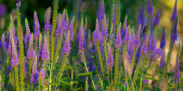 130616_8700_Purple_Flowers