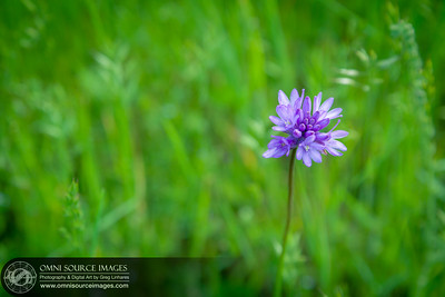 Brodiaea Cluster Lilies Sunol Ohlone Wildflowers