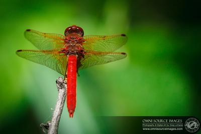 Dragonfly - Mendocino, CA