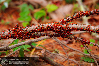 "Thousands of Coccinellidae (Ladybugs) as they enter diapause alongside the ""Stream Trail"" in Redwood Regional Park."
