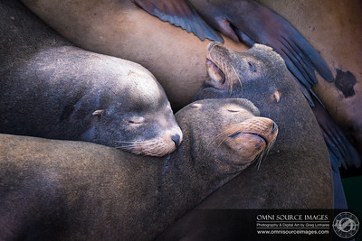 Nap Time! Sea Lions Resting on Santa Cruz Wharf