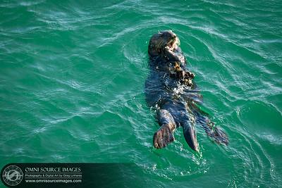 Sea Otter Near Santa Cruz Wharf